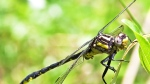 Rare dragonfly