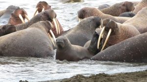 This Sept. 7, 2010 picture provided by the U.S. Geological Survey shows a walrus calf looking out from the group at the beach line near Point Lay, Alaska. (AP Photo / U.S. Geological Survey)