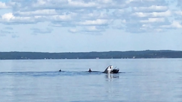 A shark attacks a pod of porpoises in St. Margarets Bay, N.S. in this undated handout screen capture. (THE CANADIAN PRESS/ HO, Sean Potter, Abbey LeFrank, Christin Lane)