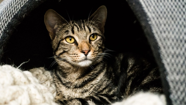 In celebration of International Cat Day, CTV Vancouver takes a look at a group of feisty felines looking for their &#39;fur-ever&#39; homes. All cats are available for adoption from the Vancouver branch of the BC SPCA. 