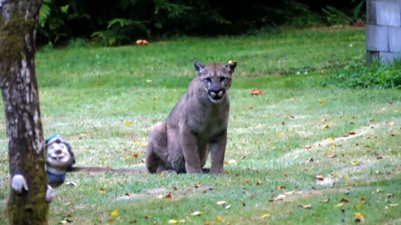 FILE: A Shirley, B.C. resident filmed a 45-minute encounter with a docile cougar in his own backyard. Aug. 8, 2016. (YouTube)