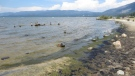 In this Aug. 2014 photo, algae growing along the south shore of Lake Tahoe is seen at Regan Beach in South Lake Tahoe, Calif. (Scott Hackley/UC Davis Tahoe Environmental Research Center via AP)