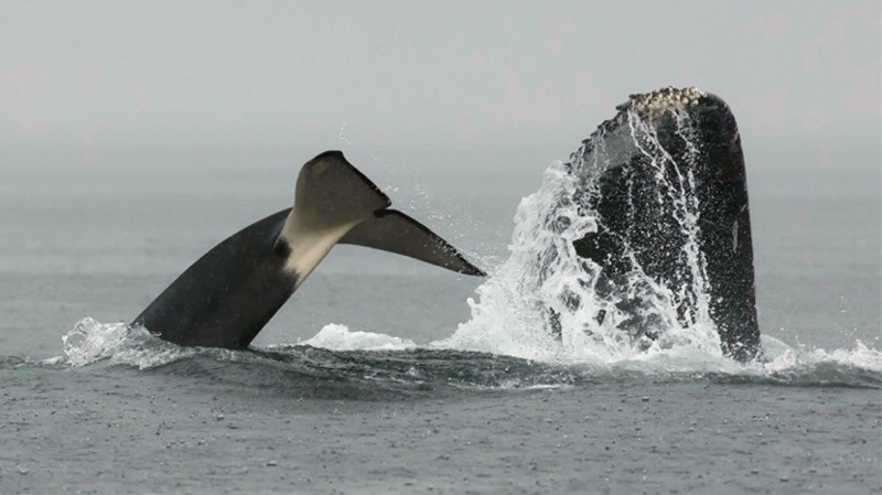 Whale watchers are sharing images of a rare and 'epic' tussle between a group of orcas and humpback whales off the coast of Jordan River, B.C. Aug. 7, 2016. (Courtesy Pacific Whale Watching Association)