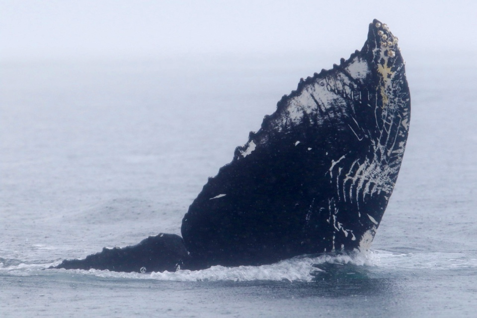 Teeth rakes are shown on a humpback whale's tail following an 'epic tussle' between a group of orcas and humpback whales off the coast of Jordan River, B.C. Aug. 7, 2016. (Courtesy Pacific Whale Watching Association)