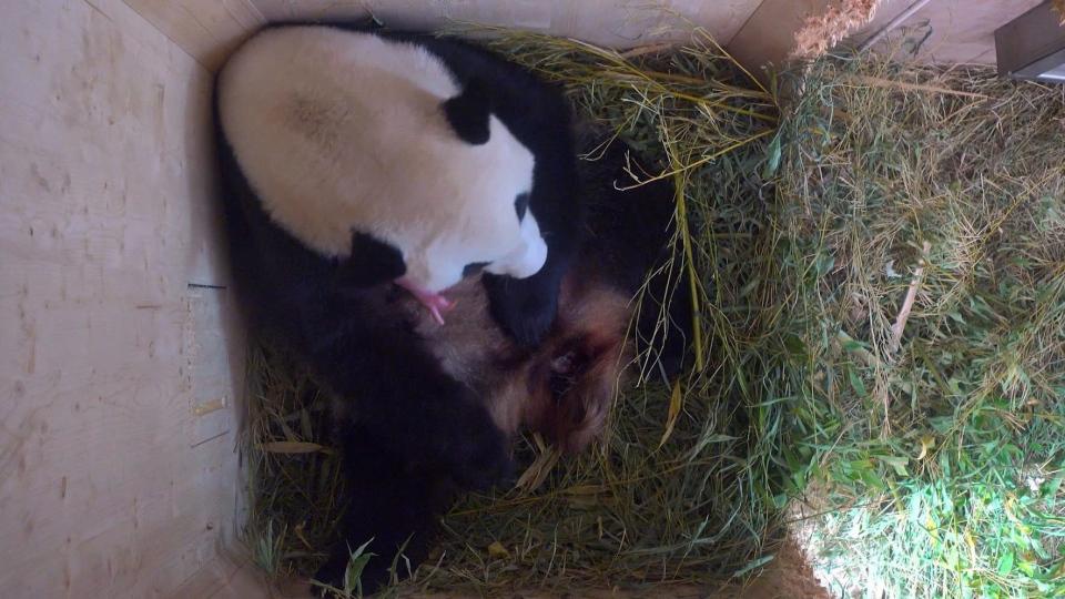 Giant panda cub at Vienna Zoo