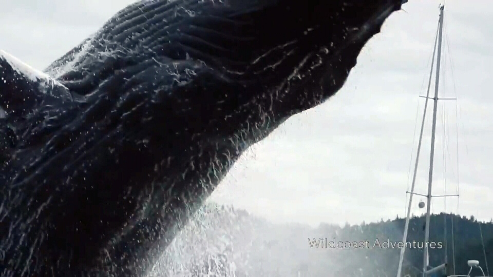 A mother humpback whale comes incredible close to a group of kayakers near Penn Islands, B.C. Mon., Aug. 15, 2016. (Courtesy Wildcoast Adventures)