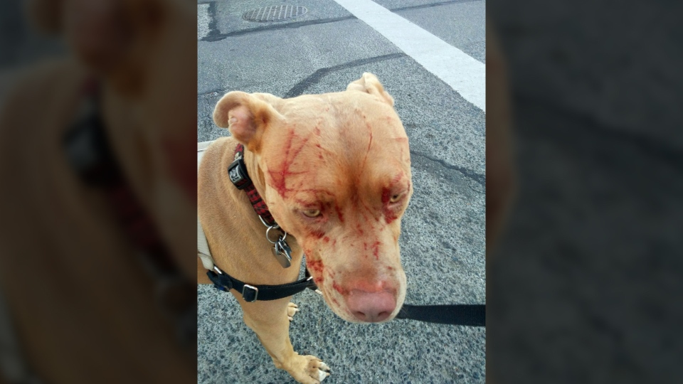 """Bandita, a pit bull, had to receive antibiotics at a local veterinary clinic after she was attacked by what her owner called a """"vicious"""" cat in Saanich Monday., Aug. 15, 2016. (Courtesy Javiera Rodriguez)"""