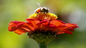 A honeybee works atop gift zinnia in Accord, N.Y. on Sept. 1, 2015. (Mike Groll / AP)