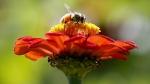 A honeybee works atop gift zinnia in Accord, N.Y. on Sept. 1, 2015. (AP / Mike Groll)