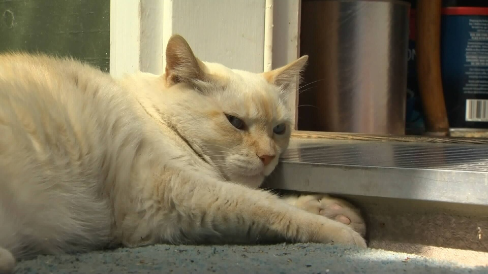 Baby, a 16-year-old cat, made headlines this week after mauling a pit bull in Saanich, B.C. Aug. 17, 2016. (CTV)