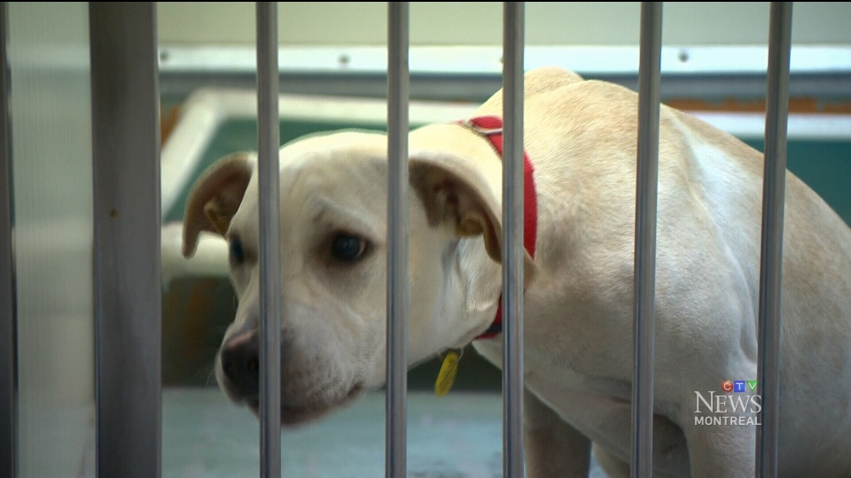 CTV Montreal: SPCA on pit bull ban