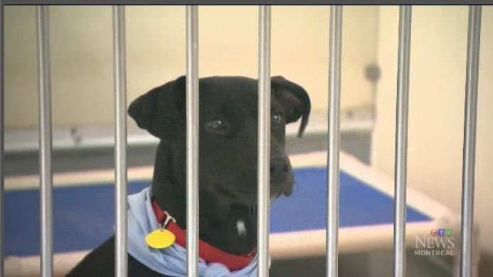 A dog is seen inside the Montreal SPCA. A new ban on pit bulls in Montreal means that the SPCA could be forced to euthanize some of its dogs.
