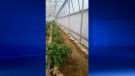 About 1,700 marijuana plants were seized from a greenhouse on Wednesday, August 17, 2016. (Courtesy OPP)