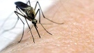 A mosquito is seen in this undated file photo.