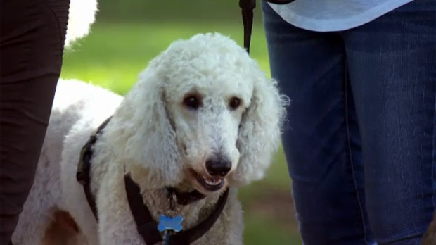 Ringo's owners were fined $149 for walking in Montreal. The dog is registered in Westmount.