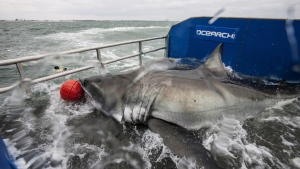 Lydia the Great White shark is shown on a research vessel off the coast off Jacksonville, Fla. in a photo from March 2013. (Ocearch Jacksonville Expedition / Robert Snow)