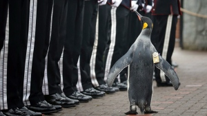 Uniformed soldiers of the King of Norway's Guard parade for inspection by their mascot, king penguin Nils Olav, at Edinburgh Zoo, Monday, Aug. 22, 2016.(Jane Barlow/AP)