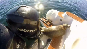 A quick-thinking harbour seal hopped into a whale-watching tour boat off the coast of Vancouver Island after being chased by a pod of hungry transient killer whales. Aug. 22, 2016. (Facebook/Campbell River Whale and Bear Excursions)