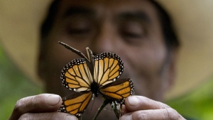 A guide holds up a damaged and dying butterfly at the monarch butterfly reserve in Piedra Herrada, Mexico State, Mexico on Nov. 12, 2015. (AP / Rebecca Blackwell)
