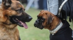 A Boxer, right, and German Shepherd dog participate in the first international tournament in Kuwait for purebred dogs, with participants from Saudi Arabia, Kuwait , Bahrain & Germany in Kuwait City, Saturday, Dec. 12, 2015. (AP)