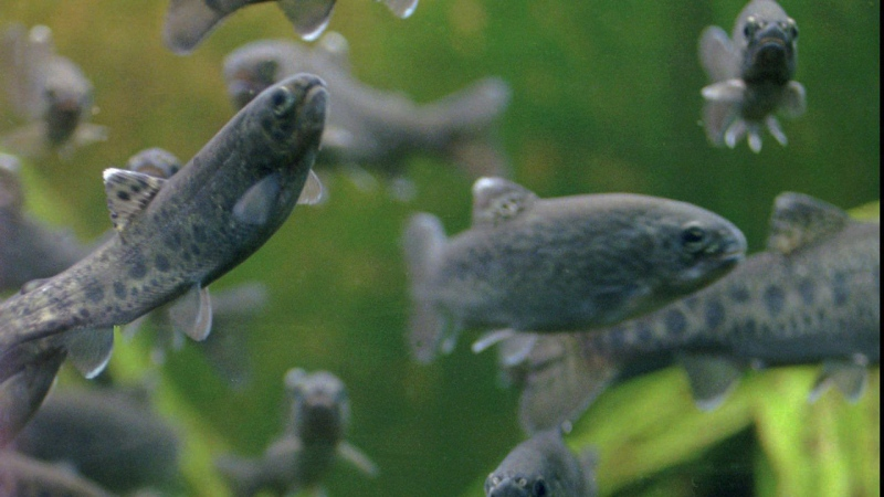 Rainbow trout swim at the Roaring Judy Fish Hatchery near Crested Butte, Colo., on Tuesday, July 2, 1996. (AP Photo/Nathan Bilow)