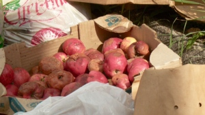 CTV News Channel: Rotten apples allegedly thrown