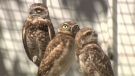 CTV National News: Keeping the burrowing owl aloft