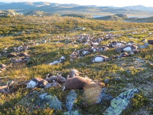 This image made available by the Norwegian Environment Agency on Monday Aug. 29, 2016, shows some of the more than 300 wild reindeer that were killed by lightning in Hardangervidda, central Norway on Friday Aug. 26, 2016 in what wildlife officials say was a highly unusual massacre by nature. (Havard Kjotvedt / Norwegian Environment Agency, NTB scanpix, via AP)