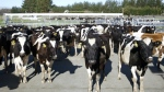 Cows stand in a pen before they are milked on a dairy farm near Carterton, New Zealand on Aug. 28, 2015. (AP / Nick Perry)