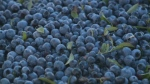 Oxford Frozen Foods Limited, the world's largest supplier of frozen wild blueberries, is planning an $8.5-million capital investment to create an improved packaging line.