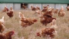 Chickens free range farm