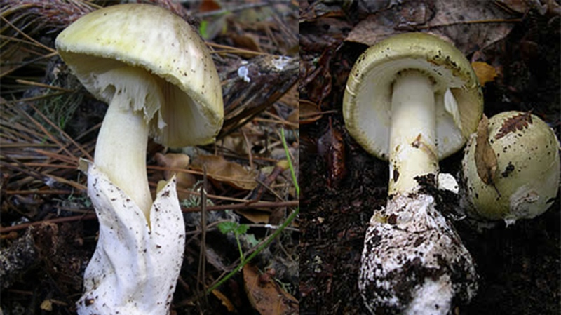 Amanita phalloides, also known as the death cap mushroom, has been spotted in the Vancouver area again. Sept. 1, 2016. (BayAreaMushrooms.org)