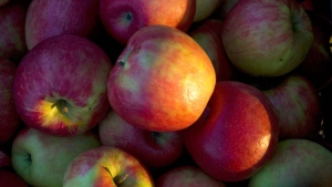 Honeycrisp apples are seen at the Breightonwoods Orchard Wednesday, Oct. 3, 2007. (AP /Morry Gash)