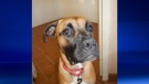 The Windsor/Essex County Humane Society is looking for Sado, a 1-year-old boxer-type dog. (Courtesy Windsor/Essex County Humane Society)
