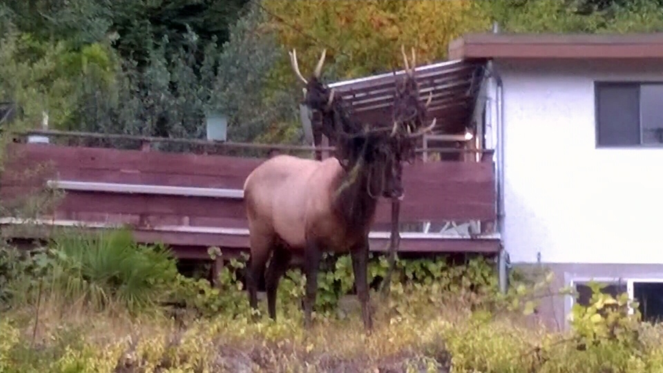 Two elk have been spotted wandering around with mesh and clothing lines wrapped around their antlers on the north shore of Cowichan Lake in Youbou.