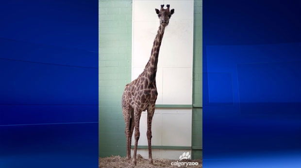 Emara arrived from the San Diego Zoo to take part in the Calgary Zoo's breeding program in the summer of 2016.