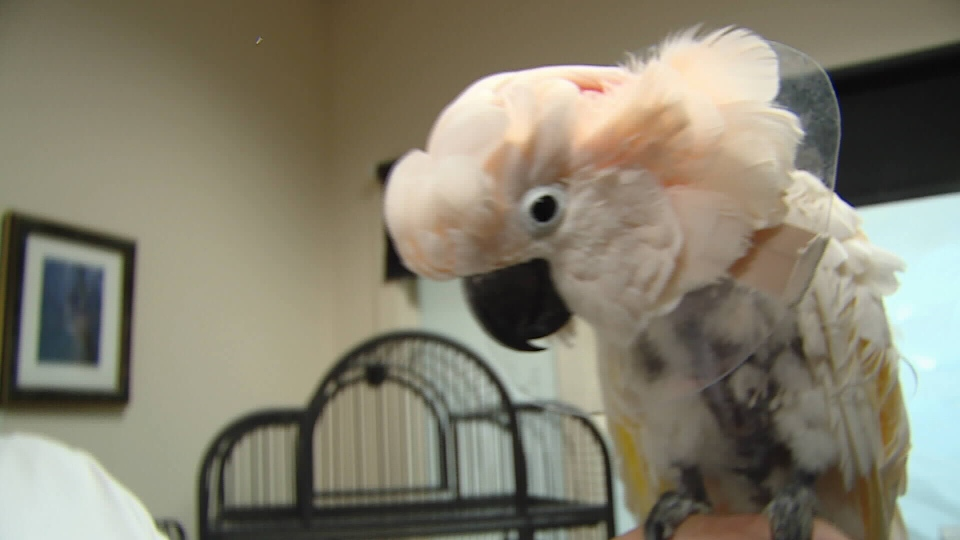 Pink Panther the cockatoo loves head scratches, understands French – and is one of around 45 parrots still receiving veterinary care after being taken from a Vancouver Island refuge last winter. (CTV News.) Sept. 17, 2016.