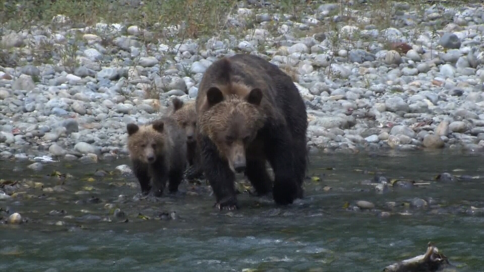 A grizzly bear walks with two cubs near a rocky stream in this file photo.