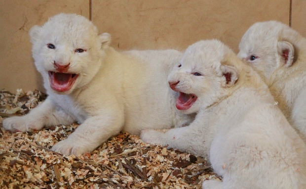 4 white lions, 3 white tigers born in zoo in Poland | CTV News - photo#26