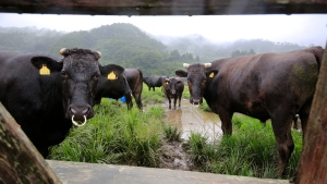 In this Aug. 27, 2016, photo, cows stand during their medical check-up at Komaru Ranch in Namie town, 12 kilometers (7.5 miles) north of the crippled Fukushima Dai-ichi nuclear power plant. (Shizuo Kambayashi/AP)