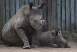 In this file photo taken Monday, Feb. 15, 2016 a dehorned rhino and her calf in their corral at a rhino orphanage in the Hluhluwe-iMfolozi Game Reserve in the KwaZulu Natal province South Africa. Eager to stop wildlife poaching, some in Africa are taking the drastic step to de-horn rhinos before the illegal hunters do. (AP Photo/Denis Farrell-File)