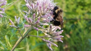 In this August 2015 photo provided by The Xerces Society, a rusty patched bumble bee collects pollen from a flower in Madison, Wis. The U.S. Fish and Wildlife Service formally recommended this bumble bee for endangered status, on Thursday, Sept. 22, 2016. (Rich Hatfield/The Xerces Society via AP)