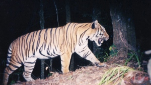 In this undated picture released by the Wildlife Conservation Society, a tiger is seen walking in the Phou Louey mountains in Laos. (AP Photo/Wildlife Conservation Society)
