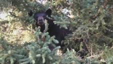 CTV Barrie: Injured bears