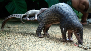 A pangolin carries its baby at a Bali zoo, Indonesia, on June 19, 2014. (Firdia Lisnawati / AP)