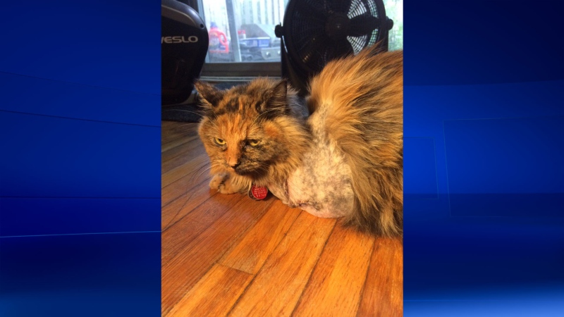 Jade the cat recovers after being shot with a gun. (Bryan Bicknell/CTV)