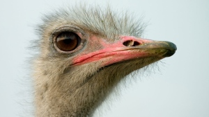 Police north of Montreal are asking for the public's help in finding out who killed and mutilated an ostrich on a farm. (A. Kniesel/ Creative Commons)