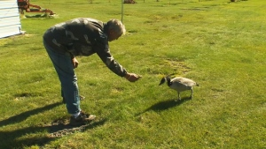 Peter Furgala adopted the young Canada goose, he named Youna, when she was just a little gosling last spring.