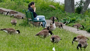This May 29, 2012 photograph shows a woman eating her lunch while surrounded by a gaggle of Canada geese feeding along the banks of the Charles River in Cambridge, Mass. (Charles Krupa/AP)