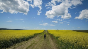 A cyclist passes between two canola fields on an afternoon trail ride near Cremona, Alta., on July 19, 2016. (THE CANADIAN PRESS/Jeff McIntosh)